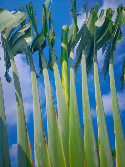 Low angle view of corn field against blue sky