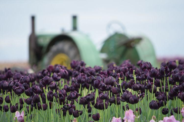 Tulips Flowers In Bloom On Field