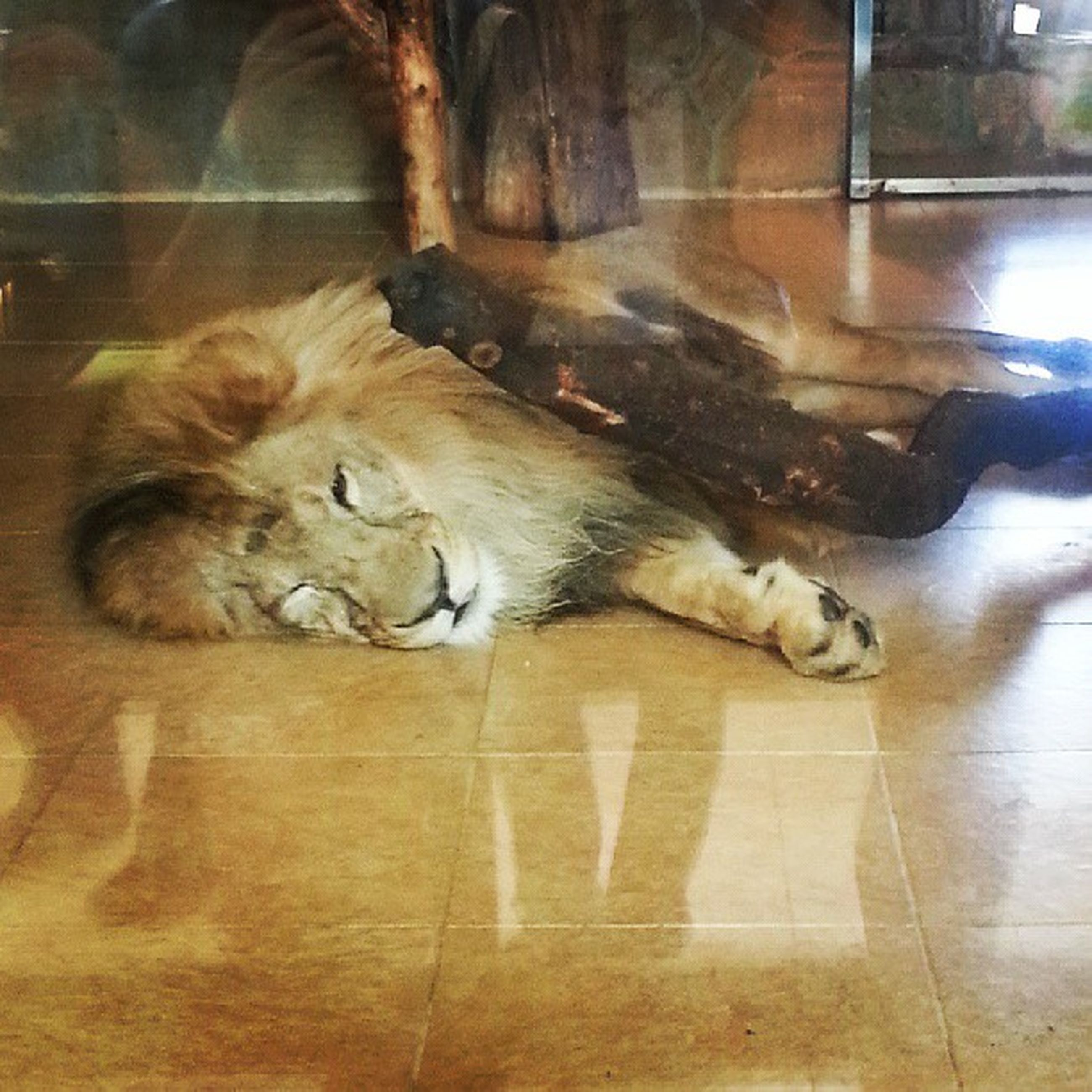 animal themes, mammal, indoors, domestic animals, one animal, pets, domestic cat, cat, relaxation, sleeping, lying down, feline, high angle view, resting, flooring, no people, animals in captivity, full length, two animals, floor