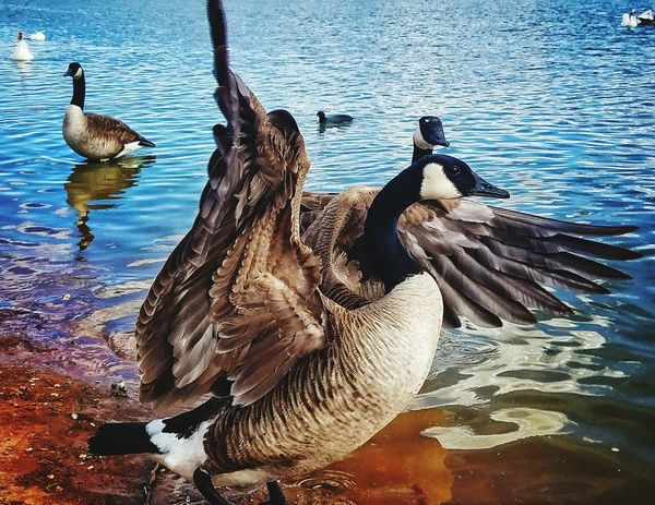 Bird Water Animal Themes Animals In The Wild Animal Wildlife Nature Day Outdoors No People Lake Swimming Canada Goose Close-up Black Swan
