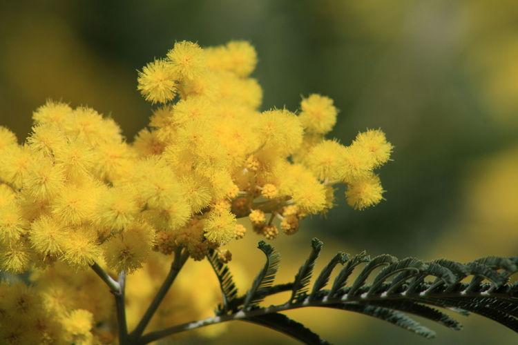 Q Quantum Smell Mimosa Spring Spring Colors Spring Flowers Yellow Yellow Flowers Beautiful Nature Showcase March