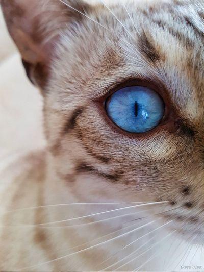 Meow 😽 Pets Eye Animal Feline Bengal Bengal Cat Switzerland Domestic Cat Geneva