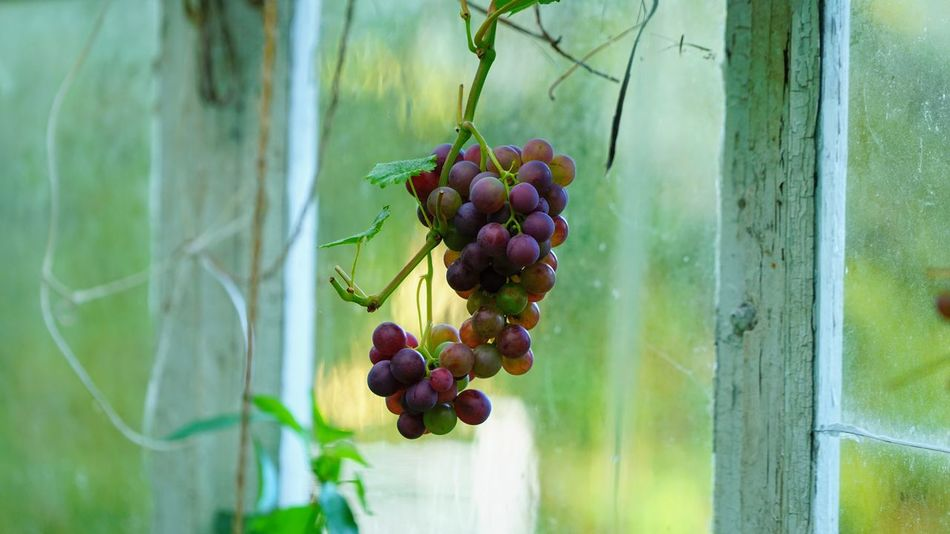 Almost ripe Fruit Freshness Plant Grape Growth No People Bunch Hanging Agriculture Green Color Plantation Ripe Nature Food Food And Drink Healthy Eating Wellbeing
