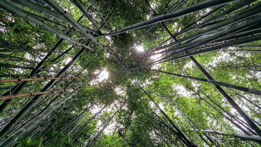 Backgrounds Bamboo - Plant Beauty In Nature Branch Day Directly Below Forest Full Frame Green Green Color Growth Low Angle View Lush Foliage Nature No People Outdoors Scenics Sky Tall Tall - High Tranquil Scene Tranquility Tree Tree Trunk WoodLand