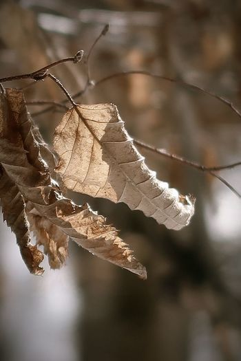 Close-up of dry leaves on branch