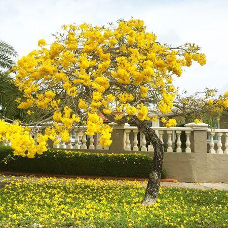 Tree Yellowtree CoralGables