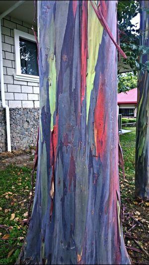 Eucalyptus Eucalyptus Tree Encantadia Colorful Colorful Tree Rainbow Tree Nature Retreat House Backyard Backyard Garden Silence Silence Of Nature Davao Davao City Davao City, Philippines