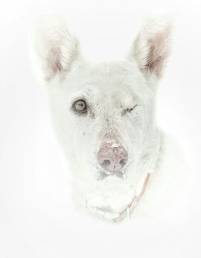 """""""Crazy Canadian Iceprincess loves the winter """" Alertness Animal Animal Themes AntiM Close-up Comfortable Curiosity Dog Domestic Animals Front View Full Length It's Cold Outside Mammal My Dogs Are Cooler Than Your Kids No People One Animal Pets Portrait Relaxation Relaxing Showcase: January White White Color"""