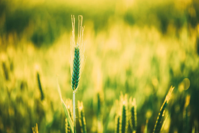 Green wheat in field at sunset. Late spring, early summer. Agricultural Crop  Farm Field Food Grass Green Healthy Industry Nature Plant Reap Ripe Rural Season  Spring Stem Straw Summer Sunset Early