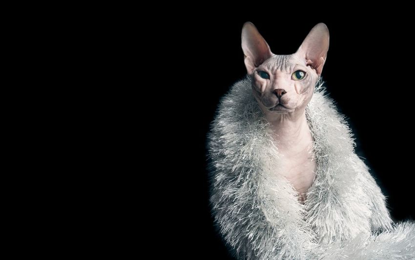 Sphynx cat in a silver stole. Copy Space Horizontal Pet Portraits Animal Themes Black Background Cat Close-up Completely Bald Domestic Animals Domestic Cat Fashion Model Hairless Cat Indoors  Isolated On Black Looking At Camera Mammal No Hair No Care No People One Animal Pentax Pets Portrait Sphynx Sphynx Cat Studio Shot EyeEmNewHere