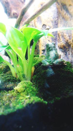 カエル Flog 両生類 Amphibians Terrarium Green Color Growth Plant Nature Leaf