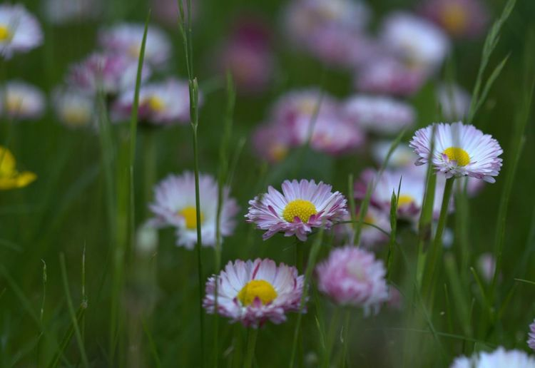 Blooming Blossom Close-up Daisies Daisies Between Grass Daisies Closeup Daisies Field Daisies Flowers Daisy Field Flower Flower Field Flower Head Grass In Bloom Nature Petal Plant Selective Focus