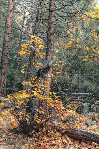 Autumn in Yosemite Autumn Beauty In Nature Branch Day Forest Forest Fire Grass Growth Nature No People Non-urban Scene Outdoors Scenics Tranquil Scene Tranquility Tree Tree Area Tree Trunk WoodLand