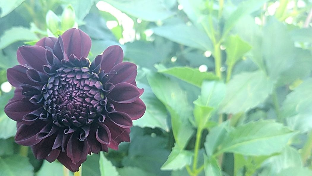Dahlia Deep Dark Red Magnificent Dreamy Dusk In The Country Freshness Flower Plant Fragility Petal Leaf Flower Head Growth In Bloom Beauty In Nature Botany EyeEm Flower The Week On EyeEm Eyeem Leaves Leaves Green Leaves Wine Red Eyeem Backgrounds Background