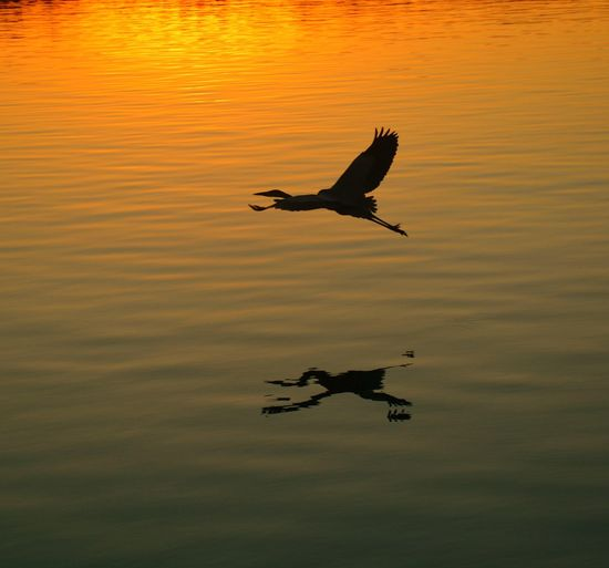 Great Blue Heron flying low in the Bayou sunset! Sunset Wth Great Blue Heron Lustrous Cascading Sun Radiant Horizon Brilliant Beautiful Magnificent Descending Sparkling Adorned Orb Colorful Receding Opal Enchanting Airy Amazing Ambient Hot Fading Romantic Glimmer Sky Shimmering Nature Blazed Ambient Rus
