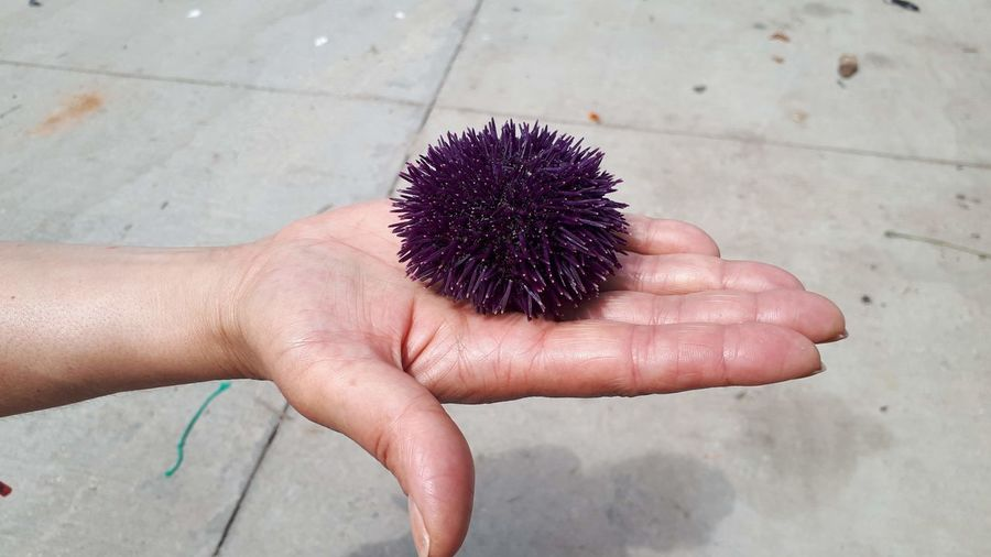 High angle view of hand holding sea urchin on footpath