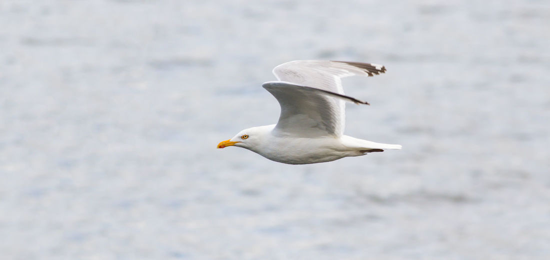 Bird Photography Birds Of EyeEm  Animals In The Wild Bird Bird In Flight Birds Birds_collection Coast Flying Gull Nature Sea Sea Bird Sea Life Seagull Spread Wings Water