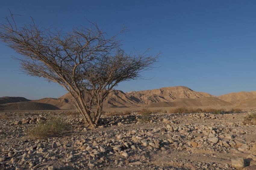 Arid Climate Israel Negev  Sky Plant Tranquility Scenics - Nature Tranquil Scene Landscape Land Tree Environment Clear Sky Nature Beauty In Nature Desert Day No People Blue Non-urban Scene Mountain Growth