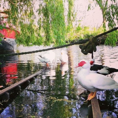Also My Geese Enjoy The Chill Party Happy 4 Ducks Derk Ouwe Guus Marie Love My Pets Animals Sun Spring Tree Nature Water Home Houseboat enjoy 420 bjorngruppen dutch