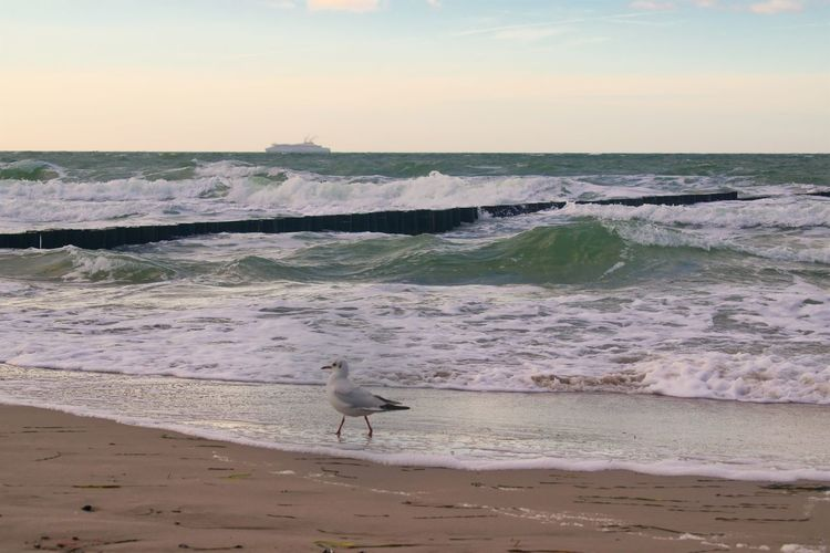 Seagull No People Horizon Over Water Bird One Animal Beauty In Nature Sand Nature Scenics - Nature Animals In The Wild Sunset Animal Wildlife Animal Themes Vertebrate Animal Sky Wave Motion Land Beach Sea Water Flowing Water