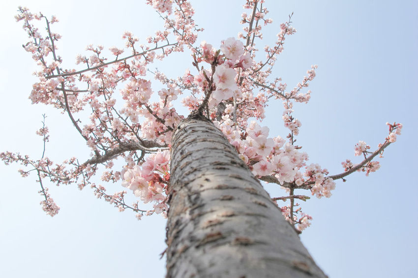 Beauty In Nature Blossom Branch Cherry Blossoms Cherry Tree Close-up EyeEmNewHere Flower Flower Head Flower Photography Flowers, Nature And Beauty Fragility Freshness Growth Hanami Japan Japan Photography Nature No People Outdoors Pink Color Sky Spring Flowers Springtime Tokyo