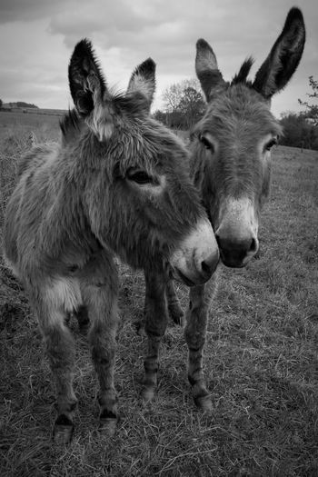 Donkeys on grassy field against sky