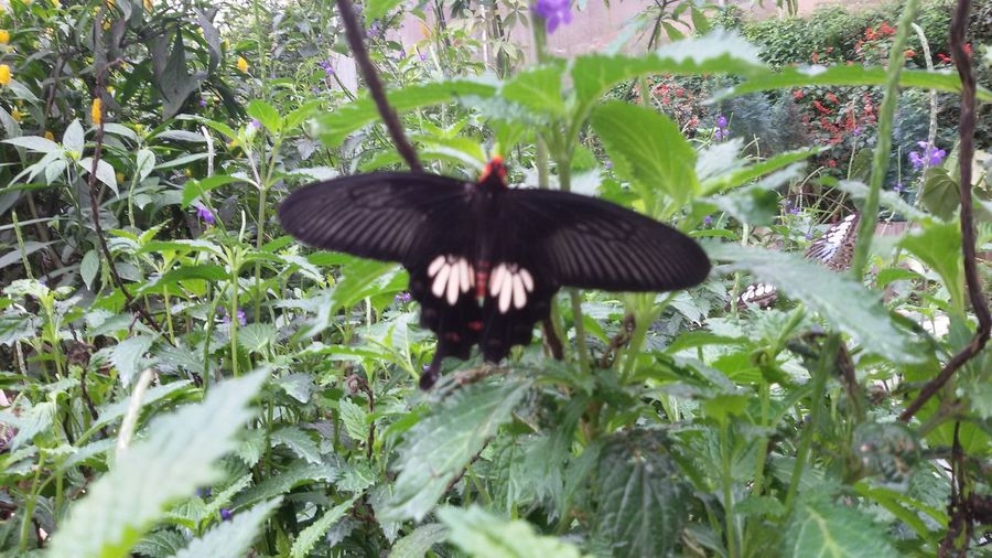 Beauty In Nature Black Butterfly Butterfly Green Color Growth Nature Outdoors Plant