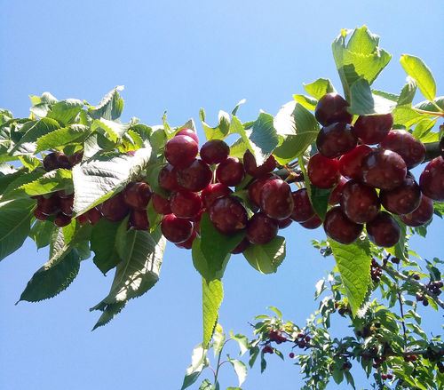 Ripe cherries hanging on a cherry tree branch on a sunny day with clear blue sky. Agriculture Cherry EyeEm Nature Lover EyeEmNewHere Freshness Summertime Beauty In Nature Berry Fruit Branch Cherry Branch Cherry Tree Freshness Fruit Growth Healthy Eating Juicy Juicy Fruit Nature Organic Organic Food Red Ripe Ripe Fruit Sweet Food Tasty