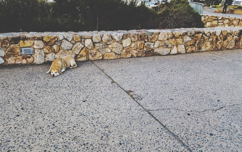 Dog relaxing in front of stone wall