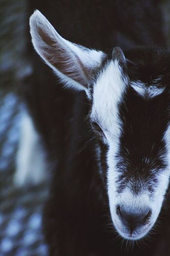 Farm Farm Animal Indoors  Goat Mammal Animal Themes One Animal Animal Domestic Animals Domestic Pets Animal Body Part Close-up Animal Head  No People Body Part Day
