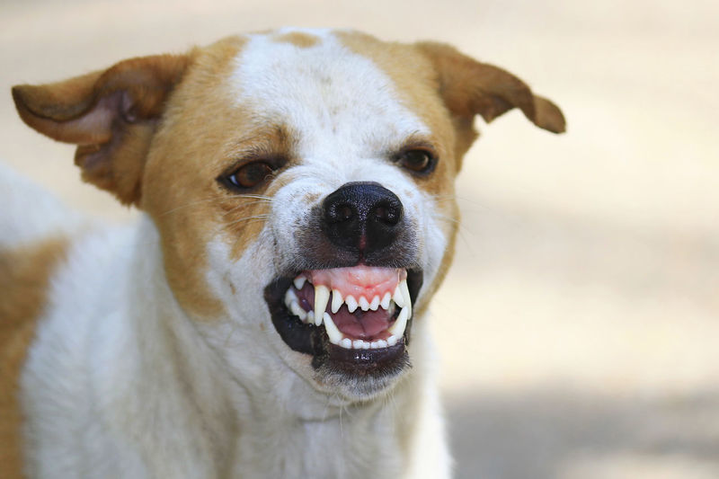 Dog One Animal Canine Mammal Domestic Domestic Animals Animal Themes Pets Animal Looking At Camera Portrait Vertebrate Animal Body Part Focus On Foreground No People Mouth Open Mouth Close-up Animal Head  Day Animal Mouth Jack Russell Terrier Fierce Fiercelook Fierce !