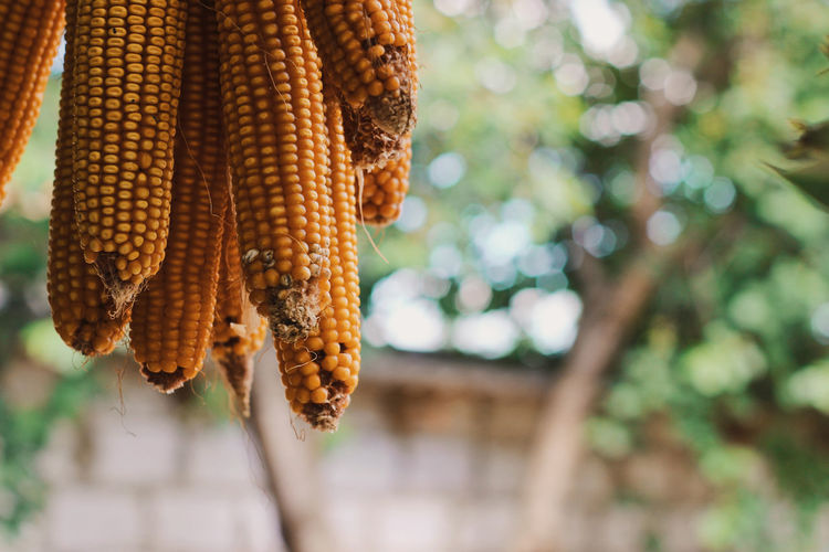Agriculture Home Close Up Close-up Corn Corn On The Cob Day Focus On Foreground Food Food And Drink Freshness Hanging Healthy Eating Minimalism Nature No People Outdoors Plant Raw Food Sweetcorn Tree Vegetable Village Life Wellbeing Yellow