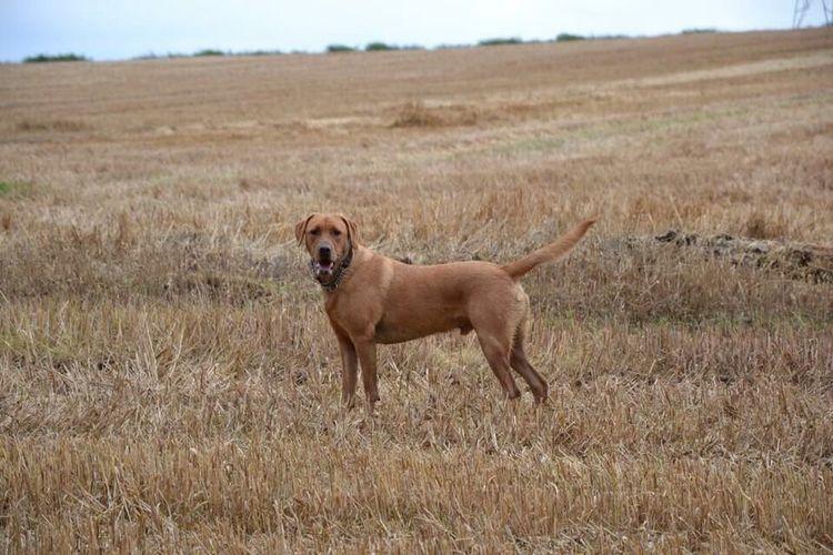 Labrador Labrador Retriever Fox Red Lab Animal Animal Themes Mammal One Animal Animals In The Wild Animal Wildlife No People Nature Pets Canine Field Dog