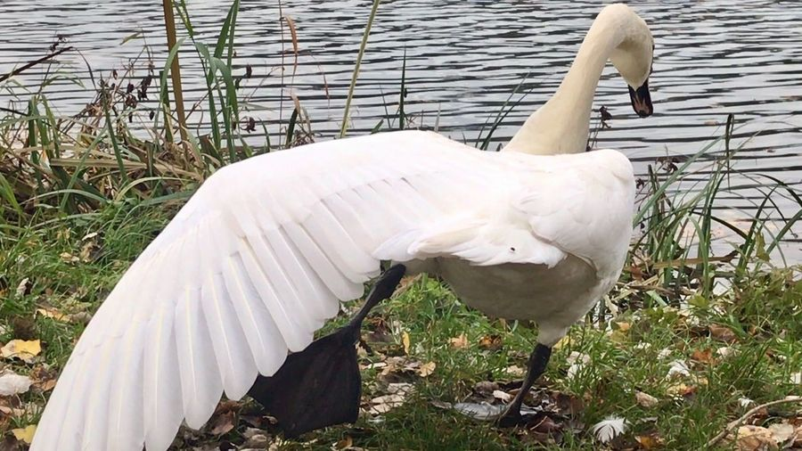 White Color Animal Themes Animal Bird Vertebrate One Animal Animal Wildlife Swan