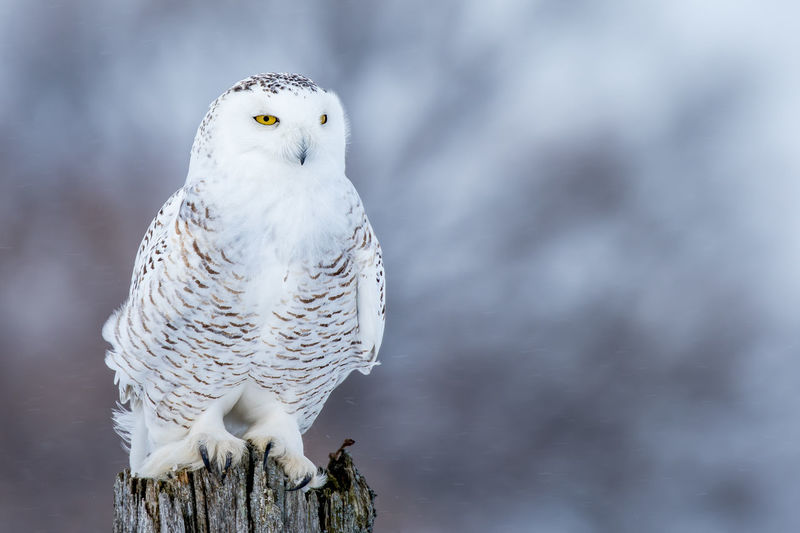 Snowy Owl - Bubo scandiacus, female perched on a stump during a snowfall. Animal Themes Animal Wildlife Animals In The Wild Beauty In Nature Bird Bird Of Prey Bubo Scandiacus Close-up Day Mammal Nature No People One Animal Outdoors Owl Perching Snowy Owl