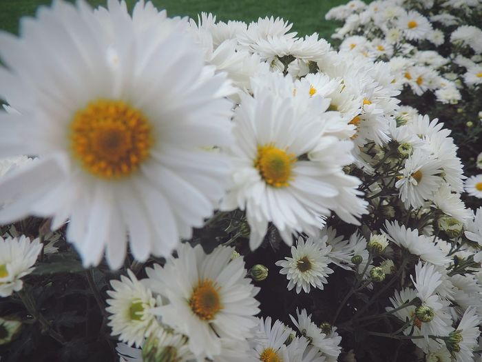 Flower White Color Daisies Nature White Flower Head Beauty In Nature Macro