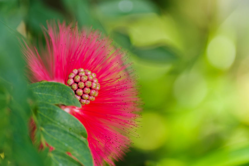 Flowering Plant Flower Plant Growth Freshness Beauty In Nature Fragility Vulnerability  Close-up Pink Color Petal Flower Head Inflorescence Nature Green Color Selective Focus Day No People Leaf Outdoors Pollen Springtime