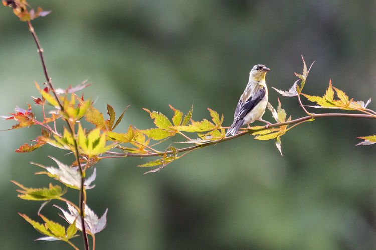Finch Animal Animal Themes Animal Wildlife Animals In The Wild Beauty In Nature Bird Branch Close-up Day Focus On Foreground Growth Leaf Nature No People One Animal Outdoors Perching Plant Plant Part Tree Vertebrate