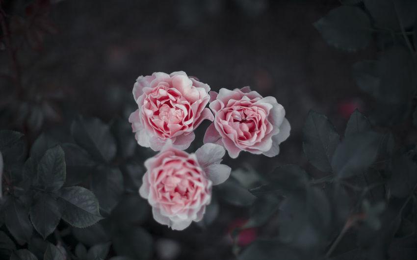 Flower Head Flower Peony  Pink Color Red Petal Rose - Flower Close-up Plant Wild Rose