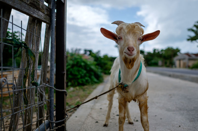 Portrait of goat tied to fence on street