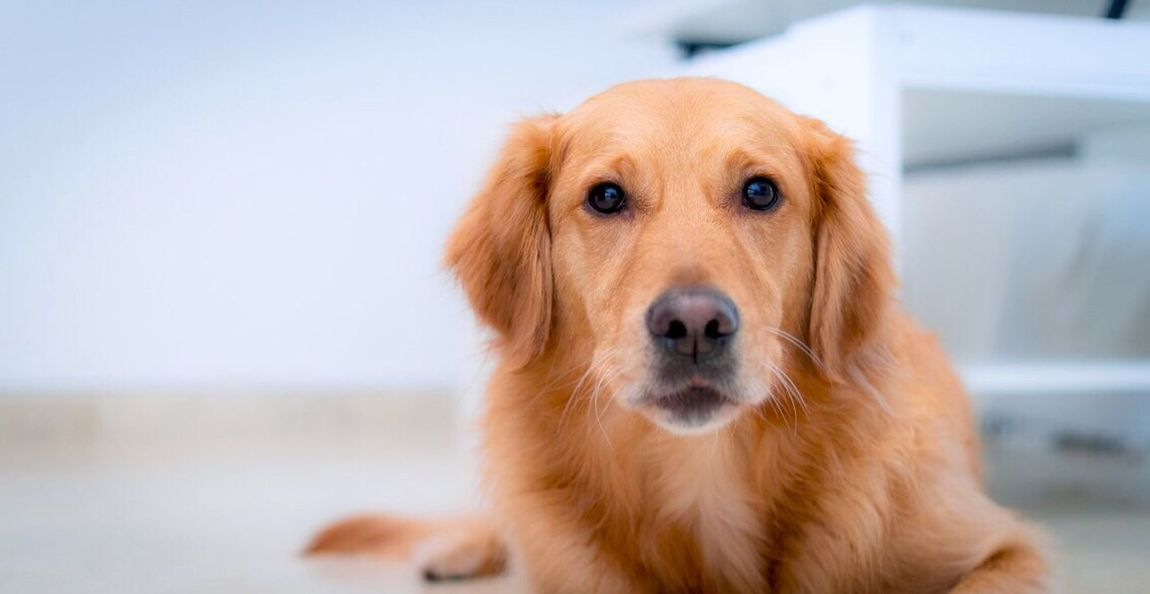 Dog Looking At Camera Pets One Animal Domestic Animals Portrait Animal Themes Mammal Golden Retriever Close-up Retriever Indoors  Dachshund No People Day Animal Animals Indoors  Cute Golden Retriever