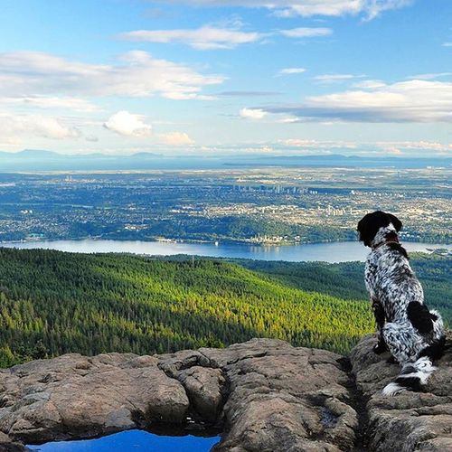 Too many hours spent in the city makes us a little crazy! WestCoast Greettheoutdoors Wildernessculture Getoutstayout munsterlander huntingdog dogwalk northshore