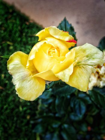 Scenics Yellow Flower Freshness Petal Fragility Flower Head Close-up Beauty In Nature Springtime Rose - Flower Vibrant Color Nature Growth Botany In Bloom Selective Focus Focus On Foreground Single Flower Plant Blossom My Commute-2016 EyeEm Photography Awards 🌞☀️☁️☁️ Photography In Motion Artistic Nature For Love