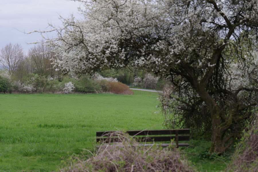 Cold And Cloudy Day In Springtime Beauty In Nature Bench Blossoms  Day Field Grass Growth Nature No People Outdoors Sky Spring Springtime Tranquil Scene Tranquility Tree