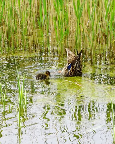 Picoftheday Baby Duck Water Animal Wildlife Animals In The Wild Animal Animal Themes Lake Group Of Animals Plant Swimming Two Animals Duck Beauty In Nature