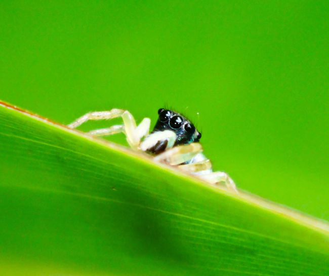 I was waiting outside the laboratory of the national museum in Cambodia to open, and to make use of my time I roamed around looking for something ''little'' to photograph...then I saw this cute black jumping spider. Taking Photos Spider Jumping Spider Macro Macro Nature Macro Insects Nature Green Hide And Seek Sony Sonyphotography Fresh On Market July 2016 From My Point Of View Eyeem Market Colour Of Life