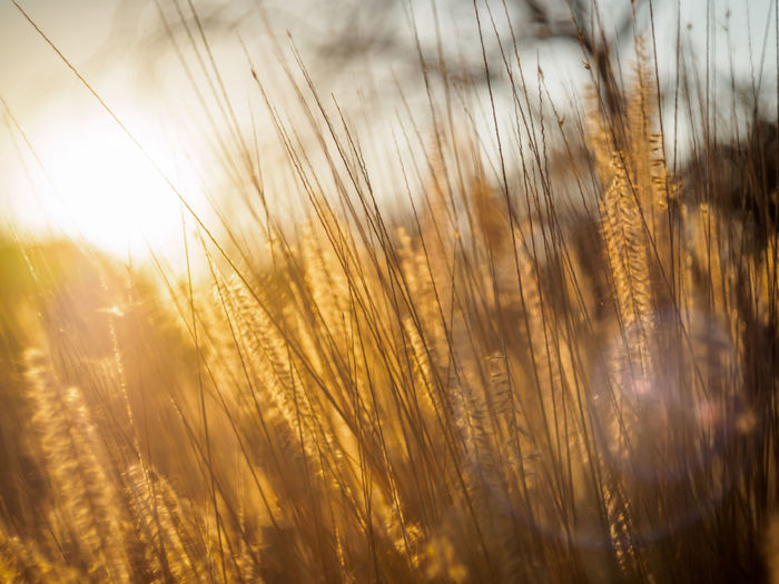 Summer sunset through wild grasses Agriculture Beauty In Nature Cereal Plant Close-up Crop  Day Ear Of Wheat Field Grass Growth Nature No People Outdoors Plant Rural Scene Scenics Sky Summer Sunset Timothy Grass Tranquil Scene Tranquility Warmth Wheat Wild