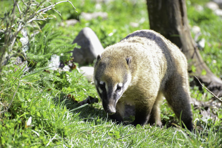 Ring taied coati, taken at Marwell Zoo, UK Coati Ring Tailed Coati Animal Themes Animal Wildlife Animals In The Wild Close-up Day Field Grass Mammal Marwell Zoo Nature No People One Animal Outdoors