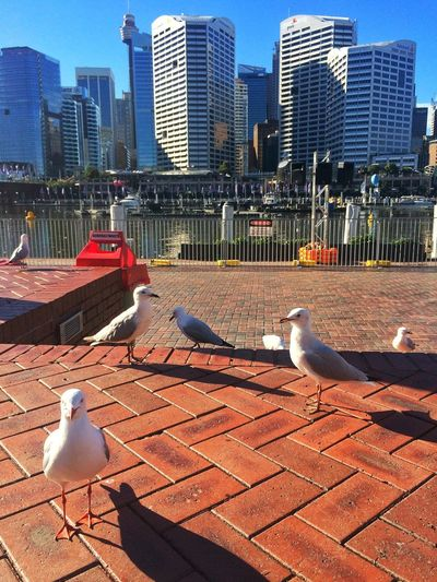 The Week On EyeEm Bird Seagull Darlingharbour Sidney Sidney Australia Sunny Day Animals In The Wild Architecture City Outdoors No People Sky Sea Amazing Landscape Sydney Sydney Harbour  Selling