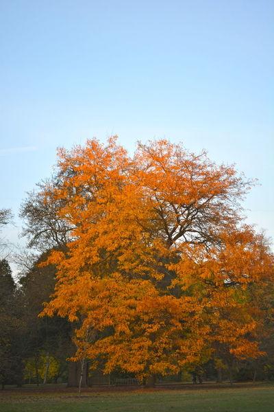 Autumn Autumn Color Autumn Leaves Beauty In Nature Landscape Leaf Maple Tree No People Oak Tree Orange Color Red Oak Tree Scenics Sky Tranquility Tree